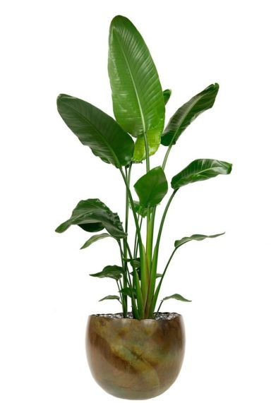 Stelitzia in populaire plantenpot