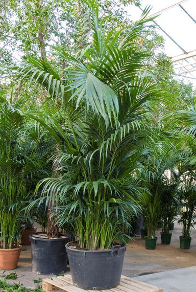 Stoere palm kentia howea forsteriana
