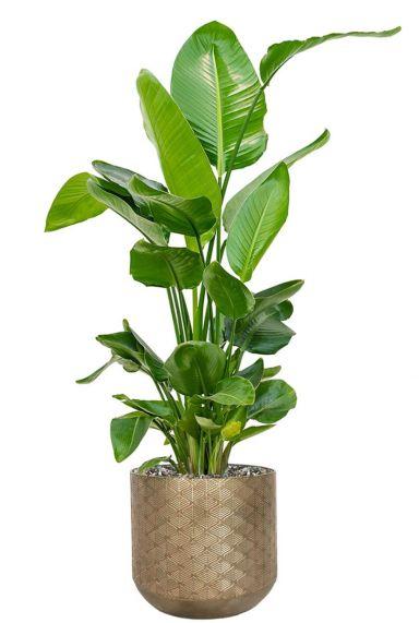 Strelitzia in bronzen pot