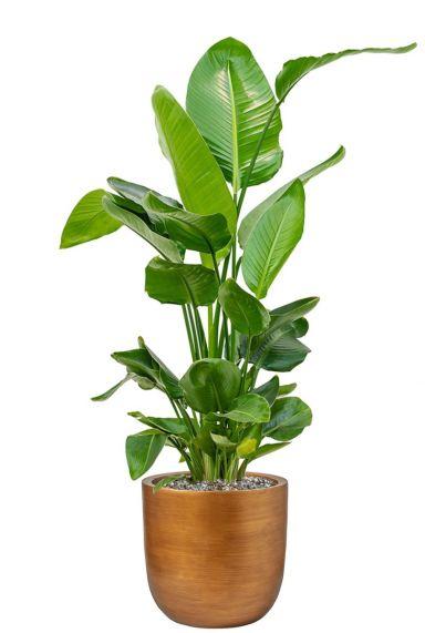 Strelitzia in gouden pot