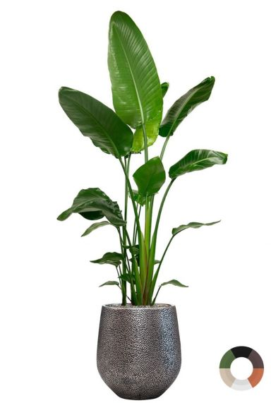 Strelitzia in mooie planten pot
