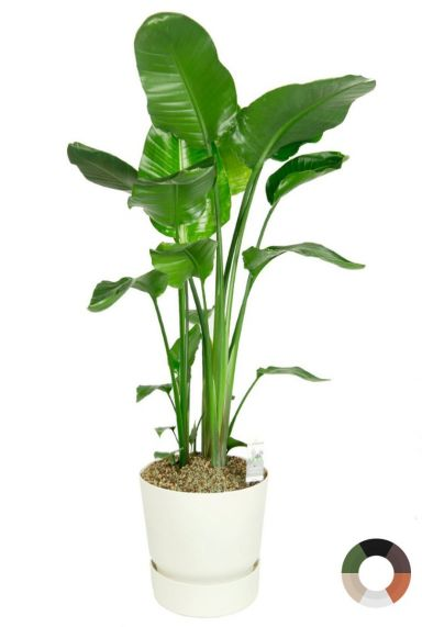 Strelitzia in witte pot 2 1