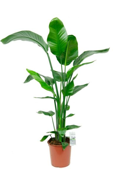 Strelitzia kamerplant 2