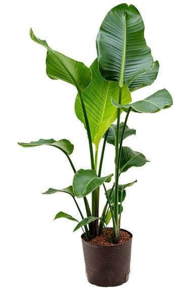 Strelitzia nicolai hydrocultuur plant