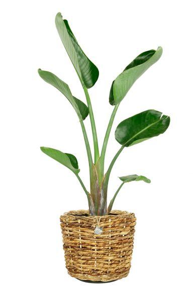Strelitzia plant in mand