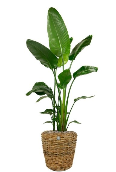 Strelitzia plant in mand 1