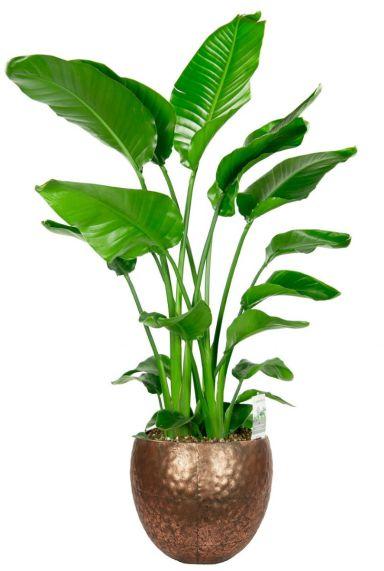 Strelitzia populaire plant