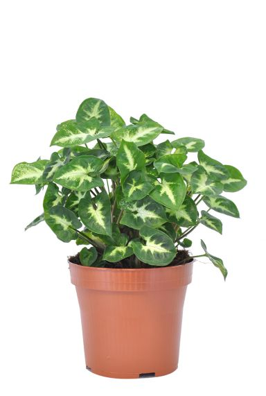 Syngonium-pixie-kamerplant