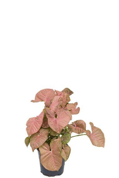 Syngonium kamerplant