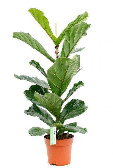Tabaksplant 1
