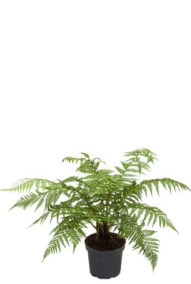 Tasmaanse boomvaren mooie varen