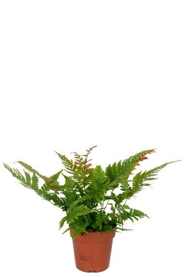 Varen-kamerplant-rode-bladeren
