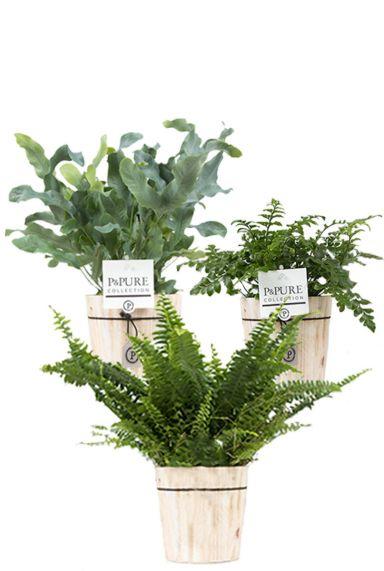 Varen plant in pot