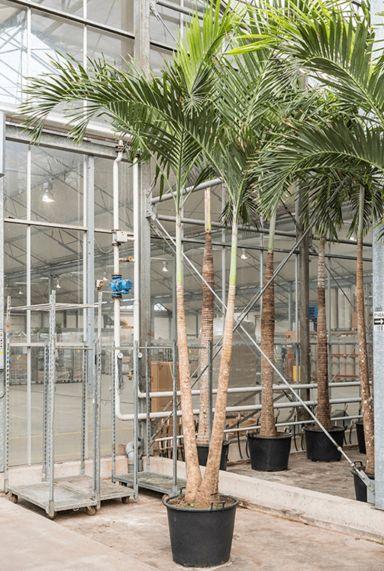 Veitchia palm boom