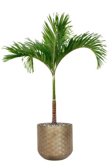 Veitchia palm in plantenpot