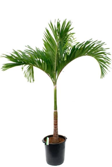 Veitchia palm kamerplant