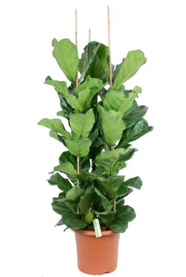 Volle ficus lyrata plant