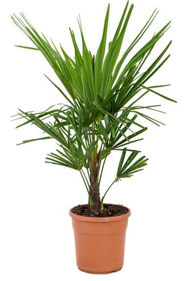Volle palm trachycarpus fortunei kamerplant