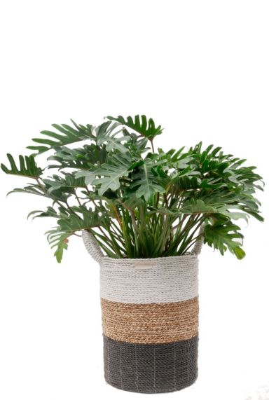 Philodendron Xanadu in hippe trendy mand