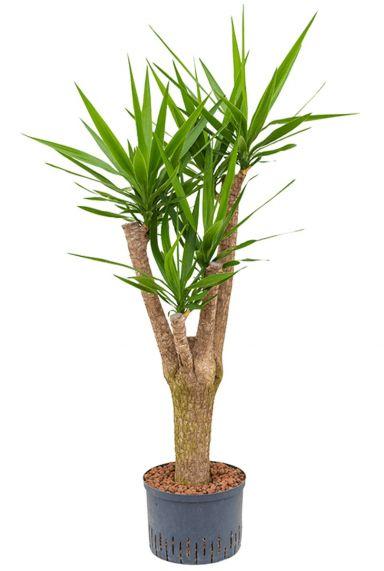 Yucca elephantipes hydrocultuur plant
