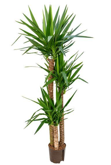 Yucca hydrocultuur groene plant