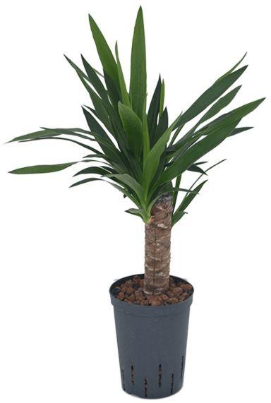 Yucca hydrocultuur kamerplant