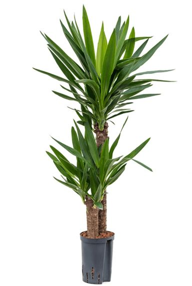 Yucca hydrocultuur plant