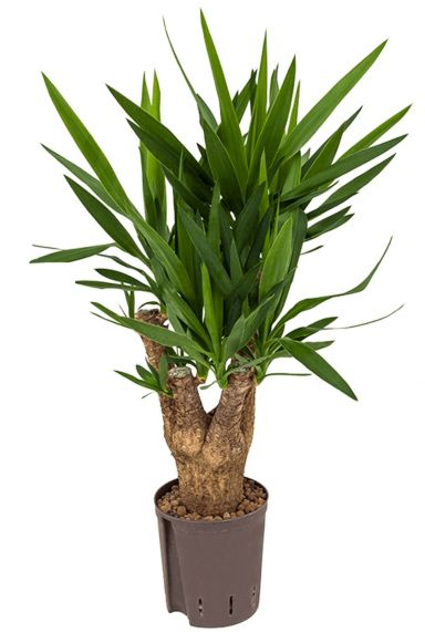 Yucca hydrokorrels kamerplant
