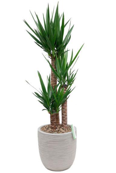 Yucca kamerplant in grijze capi pot
