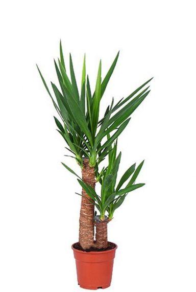 Yucca kamerplant palm