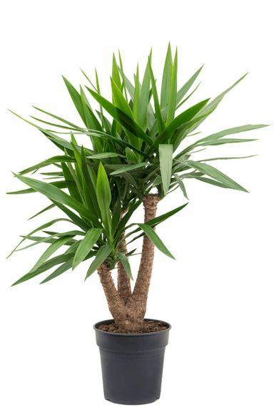 Yucca palm kamerplanten
