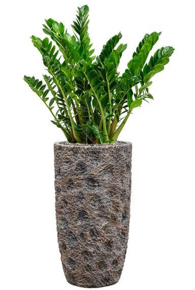 Zamioculcas in bronzen pot