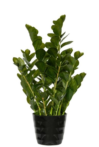 Zamioculcas zijdeplant kunstplant