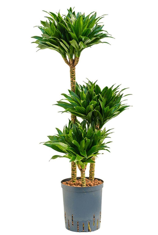 Dracaena Compacta Hydrocultuurplant Van 100 Cm Kopen 123planten Nl