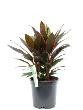 Cordyline Rumba geluksplant kamerplant kopen bij 123planten