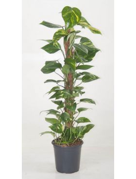 Epipremnum pinnatum mosstok
