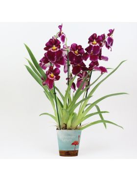 Miltoniopsis Red Tide