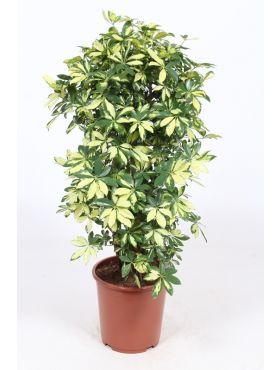 Schefflera Trinette
