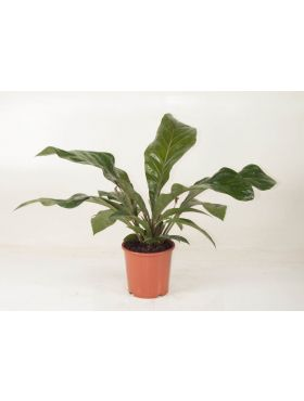 Anthurium Antingo
