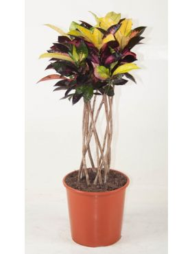Codiaeum variegatum Mrs.Iceton