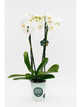 phalaenopsis wit 4 tak Gorgeous Gold