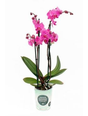 Phalaenopsis Evolution 4 tak