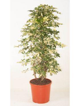arboricola Trinette