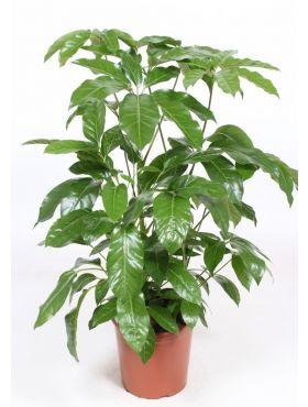 actinophylla Amate