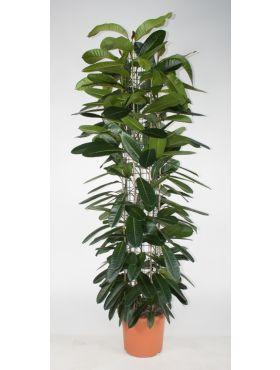 americana subsp. guianensis