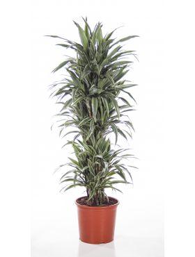 fragrans (Deremensis Grp) Warneckei