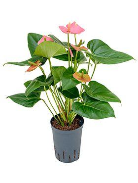 Anthurium anquilla