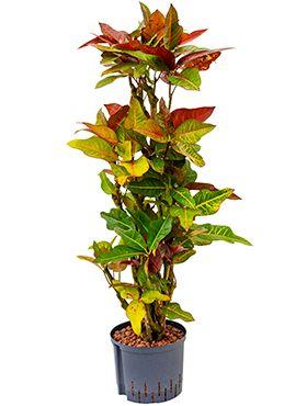 Croton (codiaeum) excellent