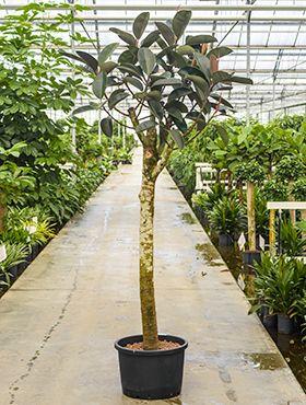 Ficus elastica bourgondi