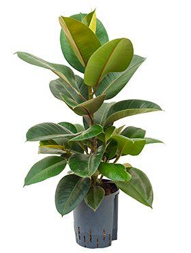 Ficus elastica robusta